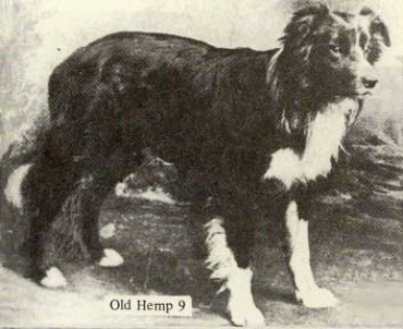 BORDER COLLIE HISTORY
