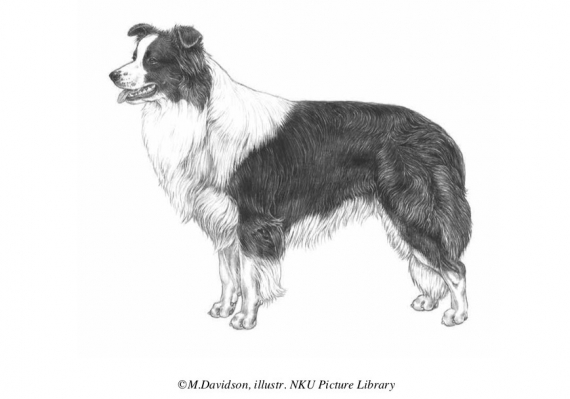 Border Collie Standard / FCI